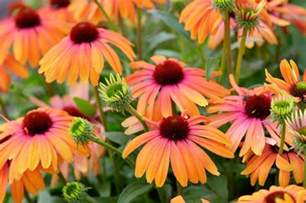coneflower colors 12 new bee supporting plants to plant this year mnn
