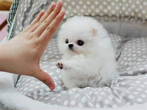 all white teacup pomeranian white teacup pomeranian for sale united states pets 1