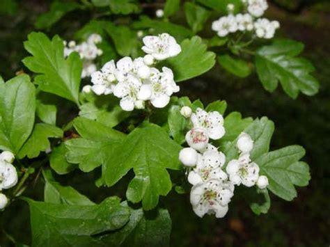 fiori di biancospino coltivazioni forestali biancospino