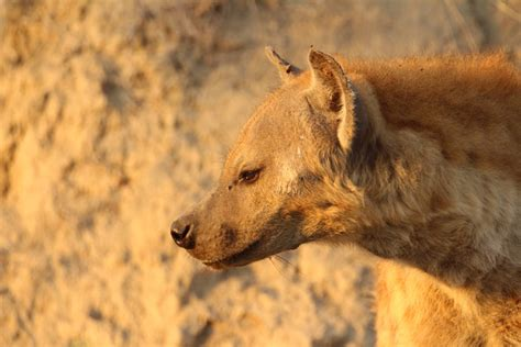 fun facts   spotted hyena africa geographic