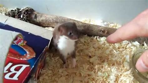 ozzy the baby desk weasel youtube