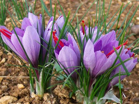 crocus sativus saffron crocus world of flowering plants
