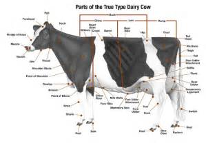 cow from moo to you cow your guide to the dairy