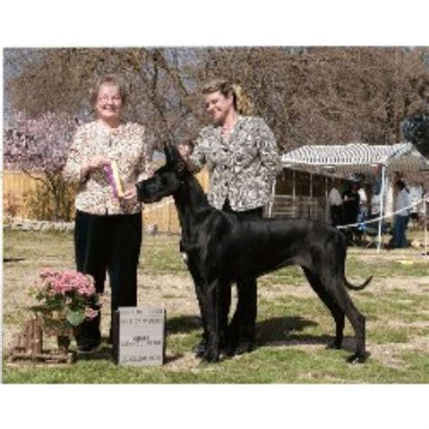 great dane puppies california great dane breeders in california freedoglistings