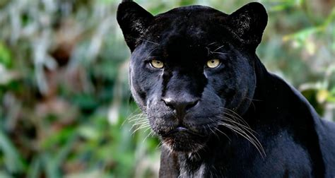 pictures of black jaguars jaguar information pictures on animal picture society
