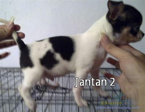 Anakan Arwana Bandung dunia anjing jual anjing chihuahua dijual anakan chihuahua lokasi bandung