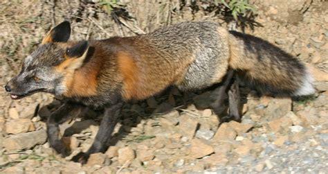 Pet Cross Fox Pendek sylestia forums