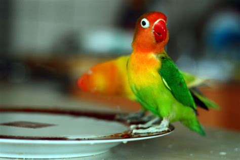 love bird rescue all about lovebirds petcha