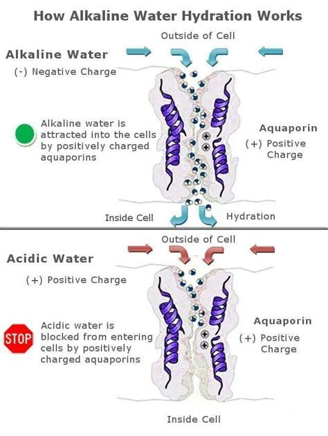 Manfaat Alkaline Detox Water by How Alkaline Water Hydration Works Contact Joelle4kangen