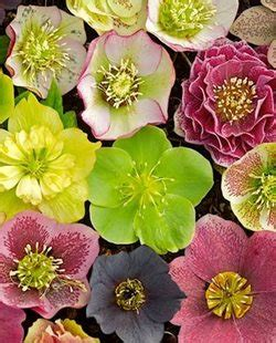 helleborus nurseries canada garden landscape design ideas and tips garden design