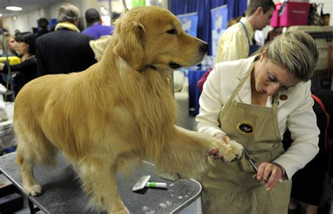 golden retriever westminster gallery a look inside the 2010 westminster kennel club show