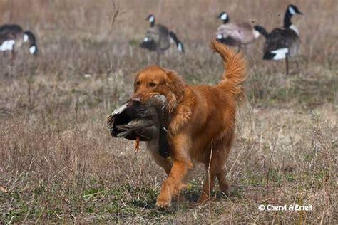 duck golden retrievers duck golden retrievers