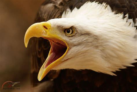 imagenes de leones y aguilas pelea de aguila calva americana vs cuervos youtube