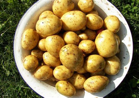 wann sã t kartoffeln kartoffeln anbauen kartoffeln anbauen auch im eimer m