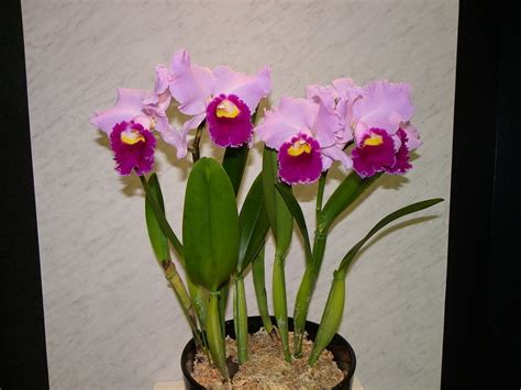 Cattleya orchid www pixshark com images galleries with a bite