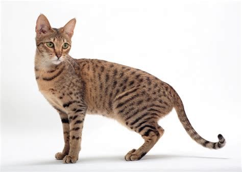 house cats that look like leopards 8 cat breeds that resemble tigers leopards and other wild cats photo gallery