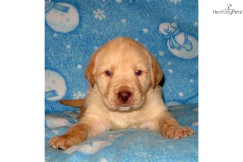 blockhead lab puppies for sale labrador retriever for sale for 500 near tucson arizona 393f4cf6 faa1