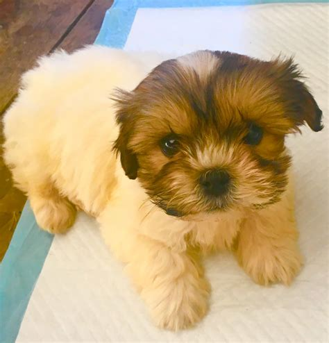 4 week shih tzu 9 week shih tzu south west pets4homes