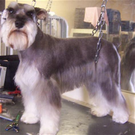 type of dog haircuts schnauzer dog haircuts haircuts models ideas