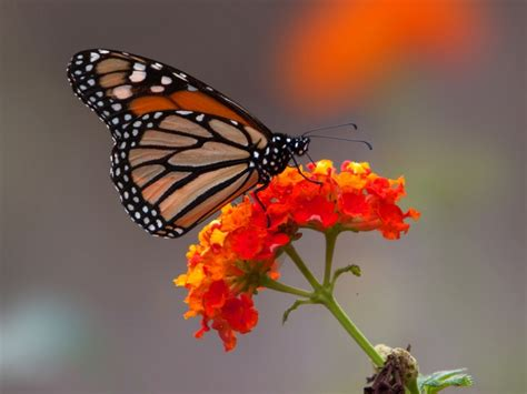 imagenes jpg mariposas image gallery mariposa