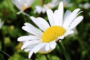 Vertical Garden Pictures - free photo daisy blossom bloom white free image on pixabay 800677