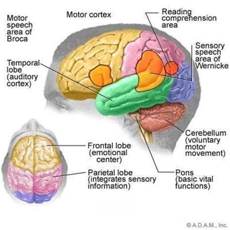 memory section of the brain 46 best images about cc cycle 3 science geography on