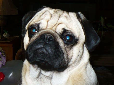pug puppies price in india pug price in indiapug puppy for sale in vijayawada india vamsi breeds picture