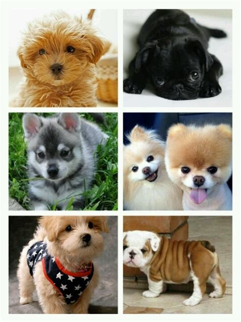 how much do pomeranian puppies usually cost 14 best images about perritos on no se helpful hints and animales