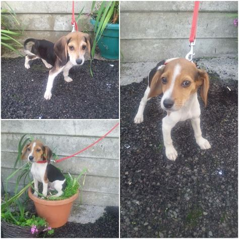 beagle puppies for sale in colorado beagle puppies for sale west drayton middlesex pets4homes
