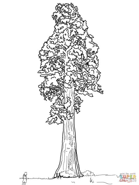 coloring page of redwood tree disegno di la sequoia gigante da colorare disegni da