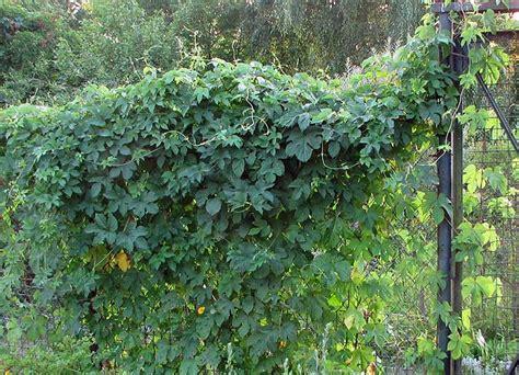 Schnell Wachsende Rankpflanzen by Sichtschutz Mit Kletterpflanzen Aber Mit Welchen