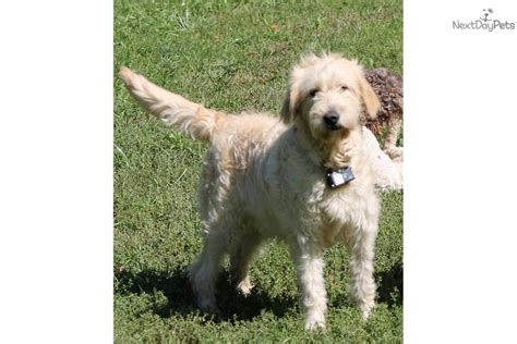 goldendoodle puppy pittsburgh goldendoodles puppies for sale pittsburgh goldendoodle