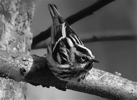 the digiscoper know your coffee birds black and white