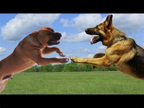 american german shepherd american staffordshire terrier vs german shepherd highlights