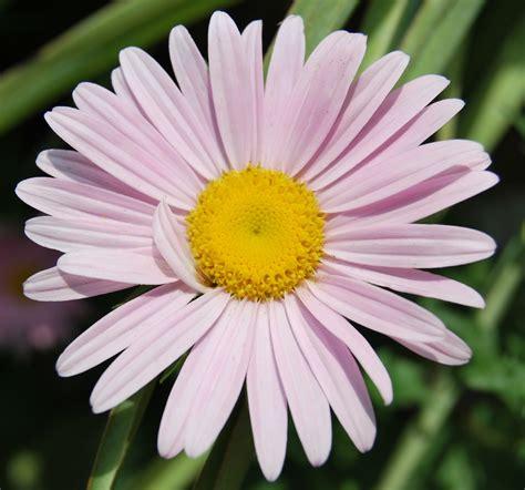 imagenes de flores margaritas image gallery la flor margarita