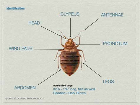 search for bed bugs cimex lectularius anatomy google search tesis chinches pinterest