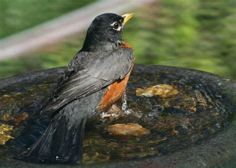 robins use sight and sound to find worms east bay times