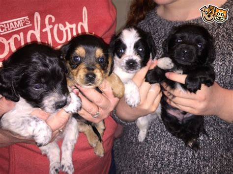 corkie puppies for sale corkie puppies beautiful stourport on severn worcestershire pets4homes