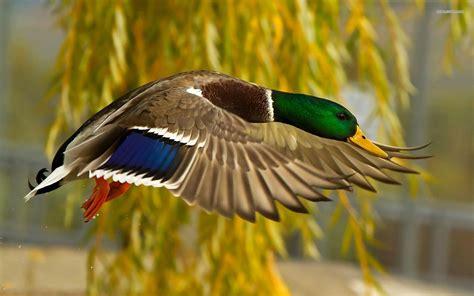 duck backgrounds duck backgrounds wallpaper cave