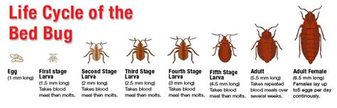 full grown bed bug learn more about bed bugs haul away cleaning bed bug prep services