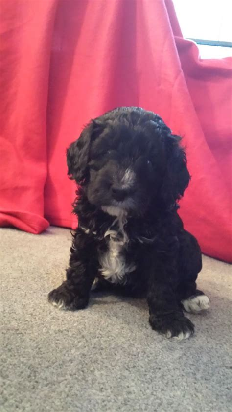 yankee doodle puppies for sale cockapoo puppies f1b sevenoaks kent pets4homes