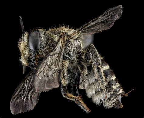 in social bees and loners a hunt for the genes behind