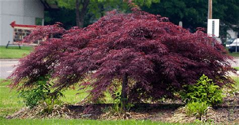 maple tree zone 6 midwest gardening trees index