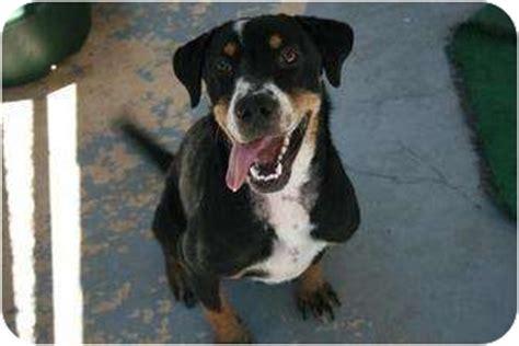 beagle puppies san antonio malibu adopted san antonio tx beagle rottweiler mix