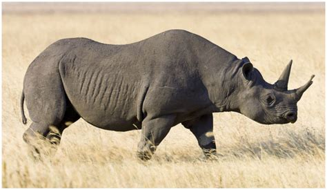 black rhino black rhinoceros facts pictures diet habitat info