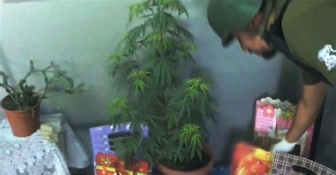 pot plant christmas altar is busted for using marijuana plant as tree metro news