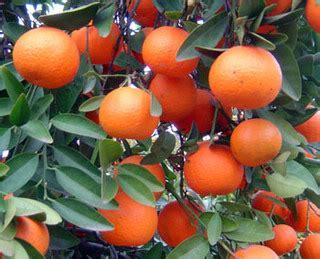 Bibit Pohon Jeruk Santang Madu kebun jeruk keprok jeruk lokal vs jeruk impor potret