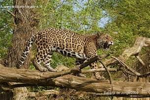 What Are Jaguars Prey Jaguar Panthera Onca Cats Magazine