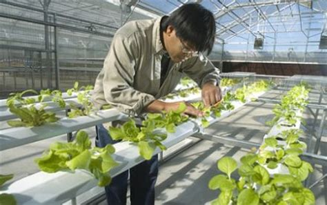 menanam cabe hidroponik sederhana panduan praktis cara menanam tanaman hidroponik