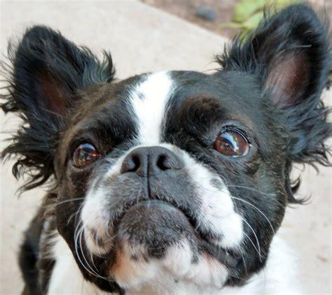 pics of long hair dark browm terriers meet meko a sorta long haired boston terrier